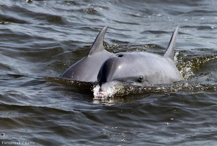 Delfinek a Mexikói-öbölben 2010 májusában