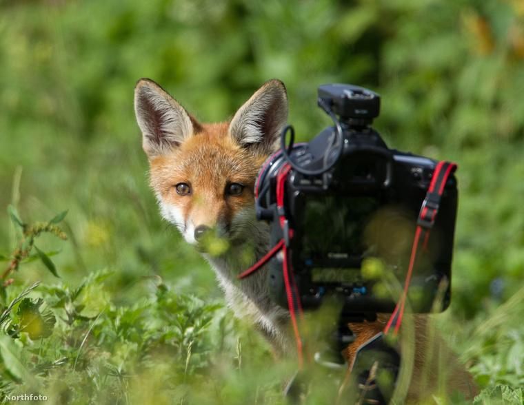Greg Morgan londoni otthonának közelében rókákat fotózott.