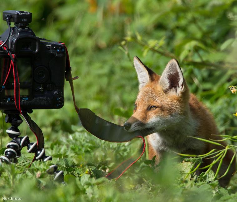 És akkor egy rókakölyök odasompolygott