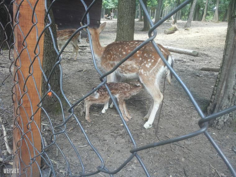 Ennél cukibbat már nem lát ezen a héten: pár perce született ez a dámszarvas-borjú a Budakeszi Vadasparkban.