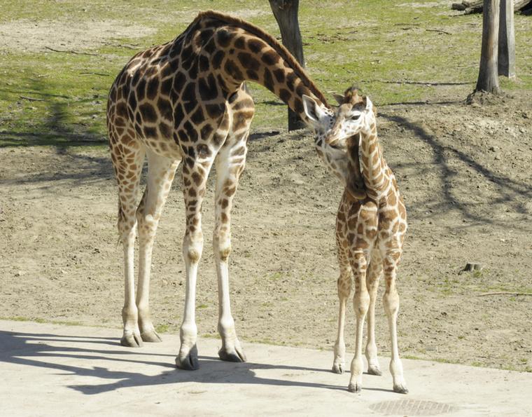 A Nyíregyházi Állatparkban mostanság nincs hiány állatbabákból, róluk kaptunk pár fantasztikus képet