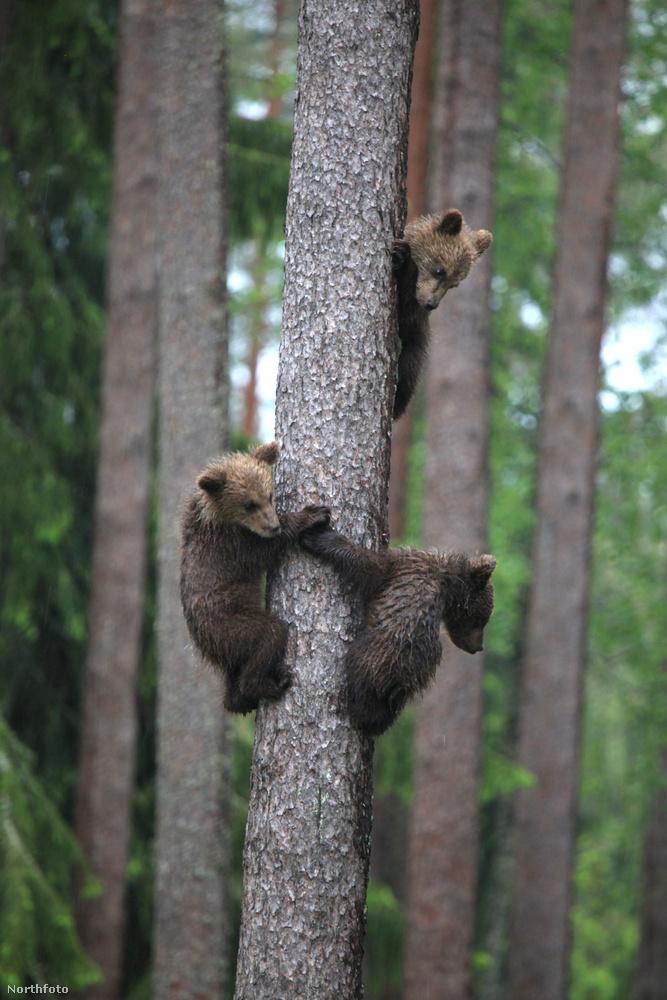 Az a jó hírünk, hogy Valtteri Mulkahainen, aki akkori összeállításunkba fantasztikusan bájos, körtáncoló medvéket fotózott, új képekkel jelentkezett.
