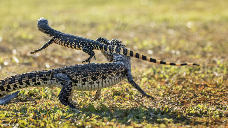 Na jó, azért érdekesek ők is, de néha nem kevésbé érdekes ezeknél a sztoriknál egy gyík és újdonsült jó haverja, a krokodil