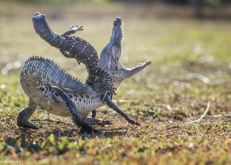 Bennünk ez az üzenet szólalt meg, amikor megláttuk ezeket a képeket az ennivaló krokodilról és a cuki gyíkról, akik egy napfényes délutánon összeverekedtek a fűben.