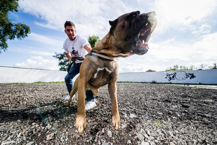 ...aki a világ különböző pontjairól szerzi be azokat a kutyákat, akiket azután híresembereknek ad el, hogy védelmezzék őket.