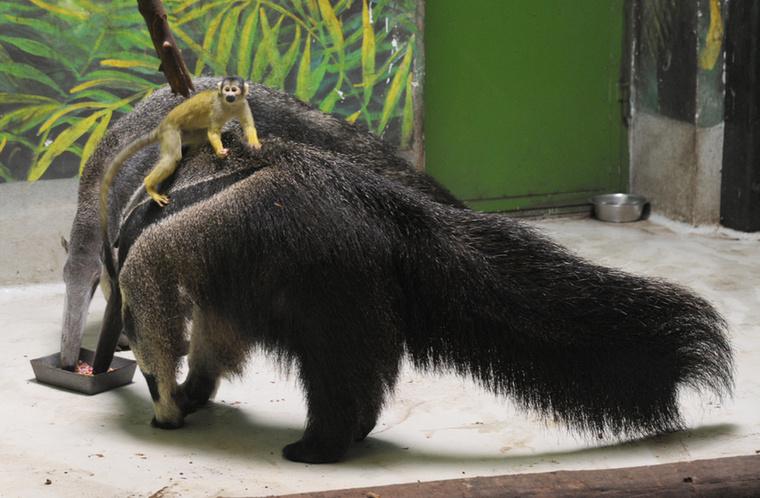 Ez a kis bolíviai mókusmajom a Nyíregyházi Állatkertből meg akkora ász, hogy már kölyökkorában csicskáztatja a hangyászsünt!