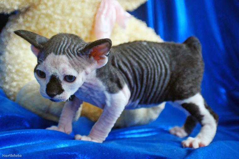 Igazából a szavak feleslegesek is, de egy macskatenyésztő megajándékozta a világot  a SphynxieBob és a BamBob elnevezésű új macskafajtákkal.